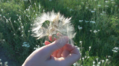 Woman hand pull seed dandelion plant flying wish luck summer holiday field sunny Stock Footage