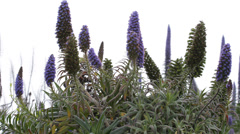 Echium Candicans Pride of Madeira Flowering Plant Beautiful Flowers Blossoming Stock Footage