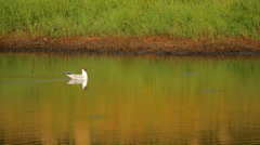 Black headed gull swimming in the pond in the wild Stock Footage