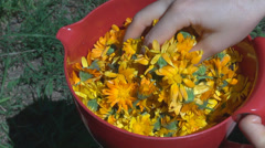 Woman hand mix medicinal flower pot yellow blossom bloom female research plant  Stock Footage