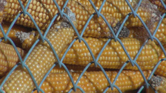 Yellow corn cob depot farm storage rural grain organic bio food market net close Stock Footage