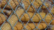 Stock Video Footage of Yellow corn cob depot farm storage rural grain organic bio food market net close