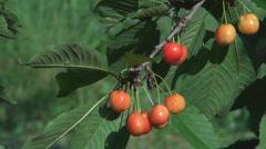 Unripe cherry tree fruit green leaf organic bio garden farm orchard sunny day  Stock Footage