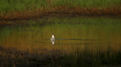 Black headed gull swimming in nature in the rural landscape Stock Footage
