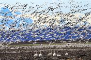 Stock Photo of lift off hunderds of snow geese taking off flying trumpet swans watching