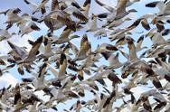 Stock Photo of lift off hunderds of snow geese taking off flying