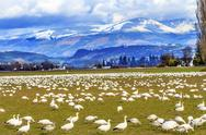 Stock Photo of snow geese mountains skagit valley washington