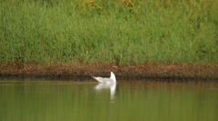 Black headed gull swimming in the swamp Stock Footage