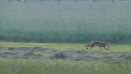 Stock Video Footage of Fox. Wild fox running from meadow to the forest in a foggy morning.