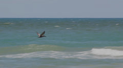 Pelican in Flight Stock Footage
