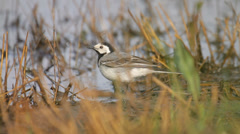 Bird walking in the swamp in the country, close-up, white wagtail Stock Footage