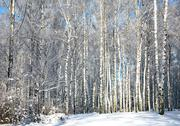 Stock Photo of winter forest in sunny weather
