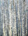 Stock Photo of winter sunny birch grove
