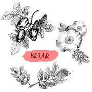 Briar. Wild rose Stock Illustration