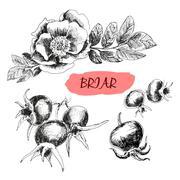 Briar. Wild rose - stock illustration