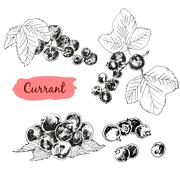 Currant - stock illustration