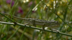 Common chameleon Stock Footage