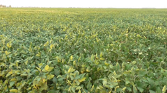 Soya Field, Soybean Plantation Stock Footage