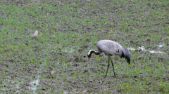 Common Crane - (Grus grus) Stock Footage