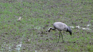 Stock Video Footage of Common Crane - (Grus grus)