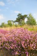 Blooming heather field Stock Photos