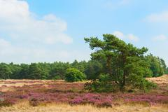 pine tree in blooming heather field - stock photo