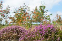 macro heather flowers with sorbus trees in background - stock photo