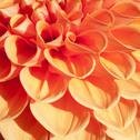 Stock Photo of firy orange bulb dahlia in extreme closeup