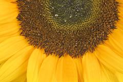 Sunflower, alias helianthus annuus, sliced halfway Stock Photos