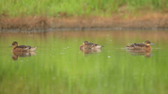Brown ducks swimming in the pond in the rural landscape, garganey Stock Footage