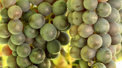 Grapes Vineyard-04 Stock Footage