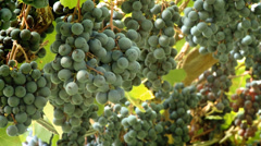 Grapes Vineyard-09 Stock Footage