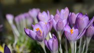 Stock Video Footage of Crocus