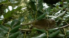 Chameleon raining Stock Footage