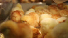 Group of yellow baby chicks on chicken farm with sawdust Stock Footage