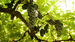 Grapes Vineyard-10 Stock Footage