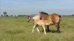 Belgian draft horses suckle their foals in summer meadow + pan Stock Footage
