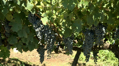 Grapes Vineyard-12 Stock Footage
