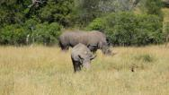 Stock Video Footage of Rhinos Eating 01 HD