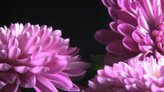 Colorful purple flower isolated over black background Stock Footage