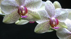 Closeup on a colorful orchids with black background Stock Footage