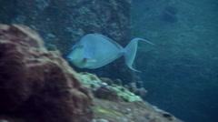 Blue-spine unicornfish (Naso unicornis) eating, close up Stock Footage