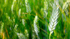 Unripe wheat ears in a field while drizzling. Stock Footage
