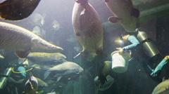 Chiang may, thailand - 02 dec 2013: divers feed arapaimas in the big aquarium Stock Footage