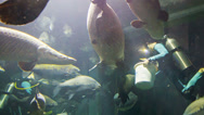 Stock Video Footage of chiang may, thailand - 02 dec 2013: divers feed arapaimas in the big aquarium