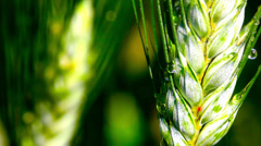 Green wheat ear in a field while it's raining. - stock footage