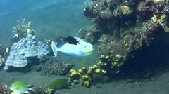 Bignose unicornfish (Naso vlamingii) changing color Stock Footage