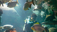 Stock Video Footage of chiang may, thailand - 02 dec 2013: divers feed fishs in the big aquarium in