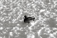 Mallard drake in the snow Stock Photos