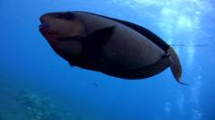 Bignose unicornfish (Naso vlamingii) swimming close up Stock Footage
